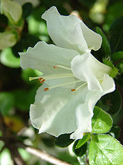 An azalea flower close up
