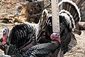 Wild Turkey Santa Rita Lodge Madera Canyon AZ 2018-02-17 16-12-26 (25712075027).jpg