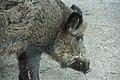 Wild boar (Sus scrofa).jpg
