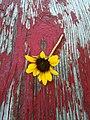 Wildflower (6100246315).jpg