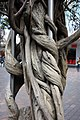 Wisteria trunk Eastwood Mall - panoramio.jpg
