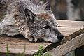 "Wolf ""Orion"" lazy.jpg"