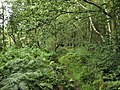 Woodland Path - geograph.org.uk - 1422033.jpg