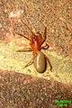 Woodlouse spider (FG) (6142790029).jpg