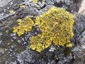 Xanthoria parietina-2006.jpg