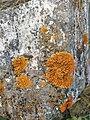 Xanthoria parietina 99841273.jpg