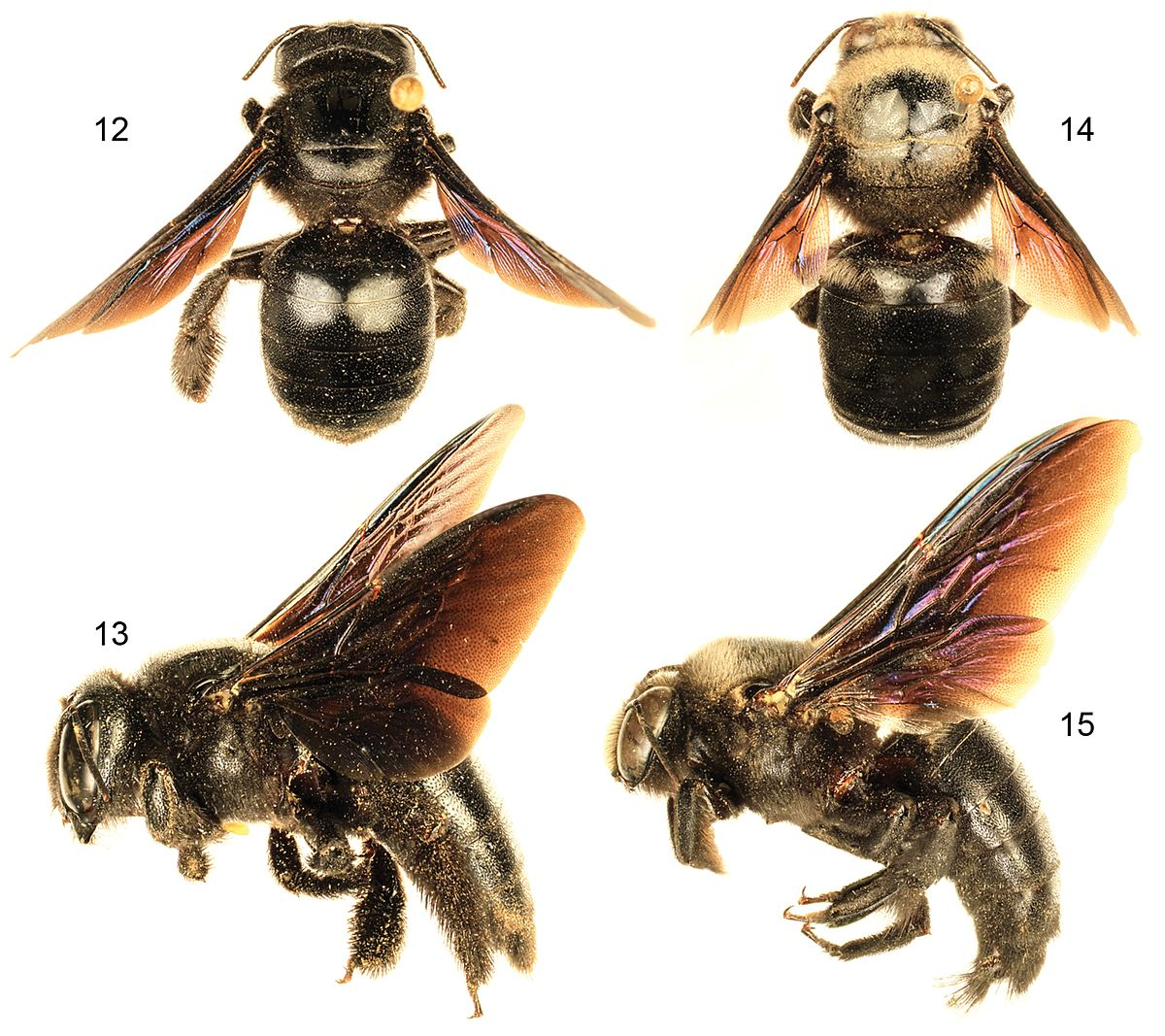 Image Result For Can Bumble Bees