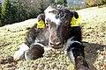 Yak calf in Austria 2009.jpg
