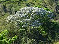 Yarumo (Crcropia telealba - telenitida) - Flickr - Alejandro Bayer.jpg