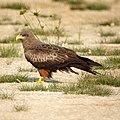 Yellow-billed Kite (6608140277).jpg