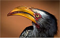 Yellow-billed hornbill.jpg
