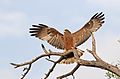 Yellow-billed kite, Milvus aegyptius, at Elephant Sands Lodge, Botswana (32248492485).jpg