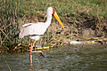Yellow-billed stork - Queen Elizabeth National Park, Uganda-7.jpg