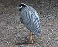 Yellow-crowned Night Heron Nyctanassa violacea - Flickr - gailhampshire (2).jpg