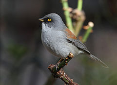Yellow-eyed Junco.jpg