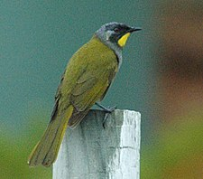 Yellow-throated honeyeater side.jpg
