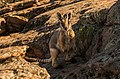 Yellow Footed Rock Wallaby 2-1.jpg