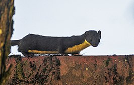 Yellow bellied weasel, Shillong, India.jpg