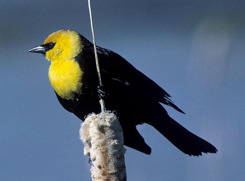 File:Yellowheadblackbird.jpg