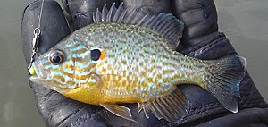 Pumpkinseed - A young pumpkinseed with visible spines and gill plates