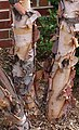 Young river birch trunks.jpg