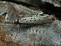 Yponomeuta sedella (26478853467).jpg