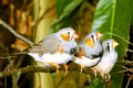 Zebra finch group.png