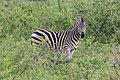 Zebra in Hluhluwe–Imfolozi Park 01.jpg