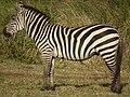 Zebras in Tanzania 3944 cropped Nevit.jpg