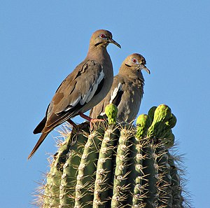 White-winged dove - Perching on a saguaro cactus in Tucson, Arizona