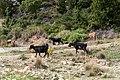 Ziegen auf Zakynthos (46469402281).jpg