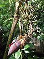 Zingiberales - Musa acuminata ssp.zebrina 3.jpg