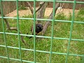 Zoopark Zajezd CZ Saguinus midas 034.jpg