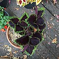 'Giant Exhibition Magma' coleus IMG 0889.jpg
