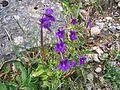 'Grasilla' (Pinguicula grandiflora) en la Senda del Arcediano. Amieva (Asturias). Parque Nacional Picos de Europa. ES1200001. ROSUROB.JPG