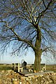 't Jenneboom (abeel) te Borgloon , op het grenspunt van Mettekoven , Hoepertingen , Voort en Gotem. - 371793 - onroerenderfgoed.jpg