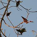 (1)Birds in Kensington Park 028.jpg