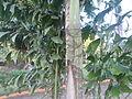 (Caryota urens) Palm tree at Shivaji Park 12.JPG