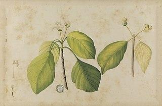 (Folhas e frutos)