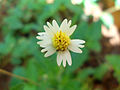 (Tridax procumbens) flowers at Madhurawada 02.JPG