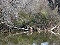 Ànecs collverd a l'estany del braç de la Vidala P1100390.jpg