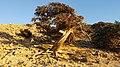 Ανεμοδαρμένο δέντρο στην παραλία Σταυρολίμνη της Γαύδου.jpg