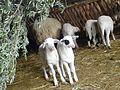 Προβατακια.jpg