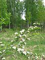 Боярышник цветет - panoramio.jpg