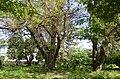 Вікові дерева софори японської, Голосіївський район вул. Китаївська,32 01.jpg