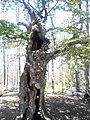 Дърво близо до върха 2.jpg