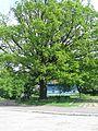 Красень-дуб в Ямполі.jpg