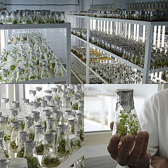 In vitro - Cloned plants in vitro
