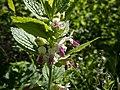 Маточинолистна кошутина (Melittis melissophyllum).jpg