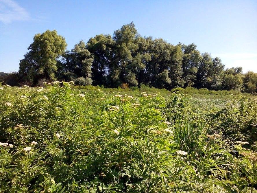 Специјални резерват природе Брзанско Моравиште, тополе